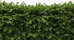 Free Boxwood Hedge (oleg_scolt) Tags: plant hedge box shrub garden topiary park bush nature foliage leaf boxwood buxus fence corner visualization exterior 3d green set collection free