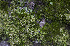 naturetexture2 (rcipfw) Tags: moss texture northmanchester indiana nature plantlife green