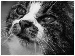Portrait of a cat (Lala89_Photos) Tags: cat cats katze katzen feline pet haustier cute ss mammal tier animal blackandwhite bw blackwhite snout schnauze eyes augen