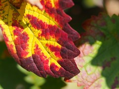 first sign of fall (michaelmueller410) Tags: fall autumn late summer sommer sptsommer leaf leaves gelb rot grn red yellow green wine vine wein weinlaub