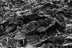 Groot Hoefblad (Nederland in foto's) Tags: nederlandinfotos nederland netherlands nikon dordrecht biesbosch groothoefblad paulvandevelde pdvandevelde padagudaloma outdoorphotography outdoor natuurfotografie nature naturephotographer monochrome zwartwit blackandwhite leaves