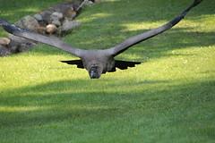 Kondor (2/2) (Vasquezz) Tags: wildpark wildparklneburgerheide lneburgerheide lneburgheath wildlifepark vogel bird geier vulture condor