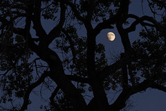 Moon and cottonwood tree. New Mexico. (cbrozek21) Tags: moon tree treesilhouette night nightsky cottonwood dark mystery astoundingimage fantasticnature simplysuperb pentaxflickraward