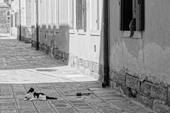 Amori non corrisposti_Venezia (stefania.bugg) Tags: gatti gatto cats love amorenoncorrisposto tiguardo schiena
