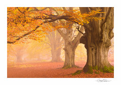 Ancient Beech (George-Edwards) Tags: landscape savernake forest wood woodland ancient beech trees leaves autumn fall colour mist misty fog cloud sunrise dawn morning nature wildlife wiltshire england countryside rural estate marlborough light northwessexdowns georgeedwards photography savernakeforest