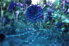 film (La fille renne) Tags: film analog 35mm lafillerenne mx doubleexposure multipleexposure ebs exposingbothsidesofthefilm bluescale minoltax700 50mmf2 lomography lomochrome lomochrometurquoise lomochrometurquoisexr100400 splitzer blue turquoise flowers