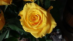 Yellow beauty (Eddie Crutchley) Tags: nature beauty flowers rose yellow sunlight greatphotographers