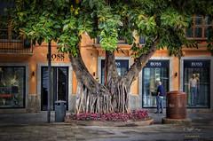 (296/16) Ficus (Pablo Arias) Tags: pabloarias photoshop photomatix nx2 texturas planta rboles palmademallorca islasbaleares