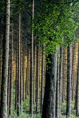 Golden Backlight (Glen Sumner Photography) Tags: goldenlight autumn trees woods sunrise leefilters ireland nature dawn golden northernireland landscape landscapes color cairnwood colour
