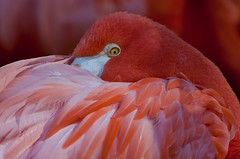 (JOAO DE BARROS) Tags: barros joao animal bird flamingo portrait
