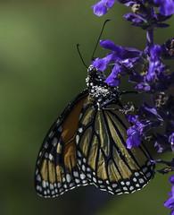Monarch_SAF2525 (sara97) Tags: danausplexippus butterfly copyright2016saraannefinke flyinginsect insect missouri monarch monarchbutterfly nature outdoors photobysaraannefinke pollinator saintlouis towergerovepark