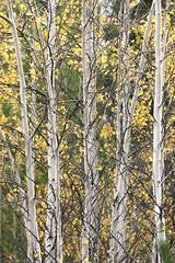 young-aspen (JeremyOK) Tags: aspen trees forest trunks bark fall autumn princeton bc