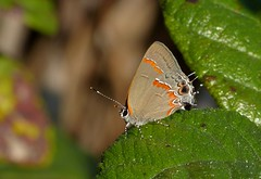 Ein Red-banded Hairstreak (Calycopis cecrops) in den Everglades, NGIDn595479224 (naturgucker.de) Tags: calycopiscecrops naturguckerde cchristopherengelhardt 744365791 1848046113 952082753 ngidn595479224