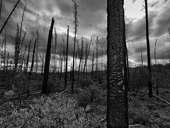 Old Forest Burn_P7132424 - Part 2 (yukonchris) Tags: trees summer forest north yukon forestfire northern burned taiga borealforest northof60 burnedtrees northklondikehighway olympuse30 zuiko918mm braeburnfire