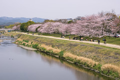 Yet Another Spring! (maida0922) Tags: people river cherry spring kyoto riverside path blossoms 京都 kamogawa k5 鴨川 sigma1750mmf28exdchsm