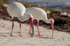 Eudocimus albus (FedericoBetti) Tags: white bird keys underwater florida ibis islamorada albus eudocimus