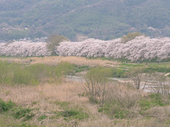 Sakura along the Kizugawa (maida0922) Tags: park mountains river cherry spring kyoto blossoms bank  dike yawata   em5 sewaritei kizugawa  mzuiko75mmf18