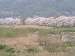 Sakura along the Kizugawa (maida0922) Tags: park mountains river cherry spring kyoto blossoms bank  dike yawata   em5 sewaritei kizugawa  mzuiko75mmf18