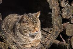 JPAS20130401-2130.jpg (Sander Strijdhorst) Tags: duitsland isselburg wildekat anholterschweiz noordrijnwestfalen