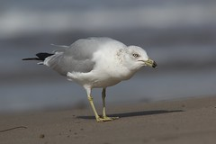 Ring-billed Gull (shailee93) Tags: california bird beach santabarbara gull ringbilledgull larusdelawarensis laridae