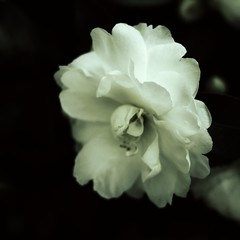out of the darkness came beauty (loobyloo55) Tags: flowers white flower flora camellia