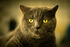 Yellow Eye (Blochmntig) Tags: cats cat chat katze katzen kater britishshorthair cateye catposing yelloweye bkh katzenaugen britischkurzhaar bestofcats catmoments catinpose