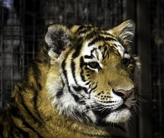 Thinking (begineerphotos) Tags: tiger siberiantiger amurtiger tigercub amurcub me2youphotographylevel2 me2youphotographylevel3 me2youphotographylevel1 me2youphotographylevel4