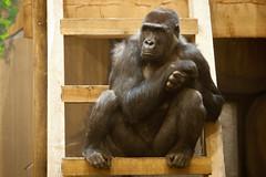 2013-04-11-12h32m20.272P5019 (A.J. Haverkamp) Tags: zoo gorilla thenetherlands barney rhenen dierentuin ouwehandsdierenparkrhenen canonef70200mmf28lisusmlens httpwwwouwehandnl bitanu dob01112003