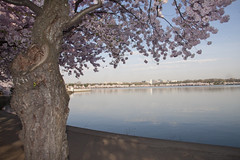 Cherry Blossoms Wed 10 Apr 2013  (165)  Washington DC (smata2) Tags: this you good national cover photograph be pick geographic titlephotosharingimg a i are height48 hrefhttpwwwflickrcomgroups83374492n00 srchttpstaticflickrcom1042978201971b62ce7b44ojpg width129 altnominateda hrefhttpwwwflickrcomgroups83374492n00national enougha
