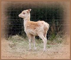 Cute Baby (Glenda Hall) Tags: ireland baby cute nature canon spring deer fawn april northernireland forestpark ulster tyrone dungannon babydeer whitedeer castlecaulfield 2013 cotyrone parkanaur canon60d glendahall