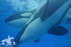 (Megakillerwhales) Tags: dolphin malia dolphins whale whales orca beluga seaworld kayla shamu belugas killerwhale orcas killerwhales katina orcawhales nalani seaworldorlando dolphincove bluehorizons shamushow orcawhale trua tillikum orcashow dolphinnursery nikond3100 makaiko nalanidreamer megakillerwhales