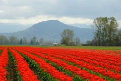 Brilliant Red (zenseas) Tags: red colors washington tulips tulip skagit mountvernon skagitvalley tulipfestival cascademountains brilliantred
