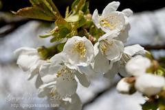 cherry (gregork.) Tags: macro cherry spring april makro solkan 2013 pomlad roža češna