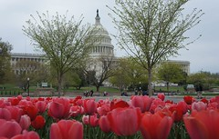 "Tulips and Capitol Building • <a style=""font-size:0.8em;"" href=""http://www.flickr.com/photos/94329335@N00/8658236749/"" target=""_blank"">View on Flickr</a>"