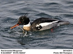 Red-breasted Merganser (Bill.Thompson) Tags: male birds ma provincetown redbreastedmerganser mergusserrator macmillanpier