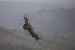 Sobrevolando la dehesa (chuscordeiro) Tags: espaa naturaleza animal fauna canon ave vulture pajaro turismo monfrage buitre leonado vuelo estremadura carroero