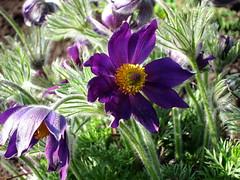 (ela_s) Tags: spring kraków wiosna sasanka ogródbotaniczny sasankazwyczajna canons90