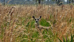 Myakka Deer (Sharpj99) Tags: