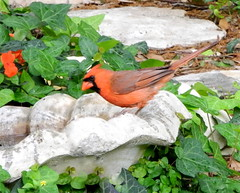Young male cardinal at the wildlife watering hole (pawightm (Patricia)) Tags: austin texas inmygarden northerncardinal centraltexas youngmalecardinal brightredbird cardinalinbirdbath pawightm midaprilgarden rscn9008 cardinalinwildlifewateringhole
