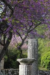Olympia (EvelinePothoven) Tags: tree greek bomen blossom games boom greece olympia olympic pillars bloesem oud eveline olympicgames spelen zuilen griekenland grieks olympische acient pothoven olympischespelen evelinepothoven
