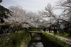 (ddsnet) Tags: travel plant flower japan sony 99  cherryblossom  sakura nippon  kansai  nihon hanami  slt backpackers   flower              cherry kytoshi kyotofu blossom japan   flowerinjapan singlelenstranslucent   99v