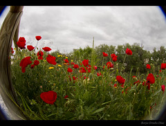 Fishing Poppies with Eyes (borchuah) Tags: flowers flores canon eos fisheye 7d poppy 8mm peleng ojodepez amapola alcaldehenares canoneos7d rohenares