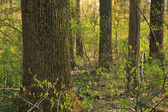 Spring Forest (2) (Nicholas_T) Tags: trees nature forest newjersey spring hiking creativecommons vegetation deciduous undergrowth understory warrencounty columbiawildlifemanagementarea temperatedeciduousforest