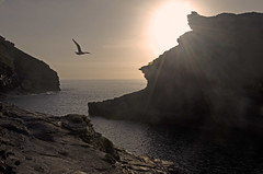 Evening flight (Salopian07) Tags: sunset sea sun bird evening cornwall cove flight cliffs seabird boscastle eveningflight