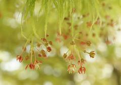 紅葉の花 (e_haya) Tags: flower 紅葉 花 sonynex5