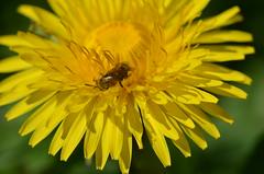 Auch ein Akt (deta k) Tags: flowers macro berlin germany deutschland spring flora natur pflanzen blumen insekten frhling blten sooc nikond5100