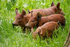Piglets on the loose (AAAndrew) Tags: cute grass pig farm piglets thechallengefactory