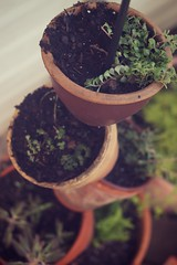 cutesy plantholders (mamatronic) Tags: garden 50mm sedum myhome greenthings stringofbeadsofbeans