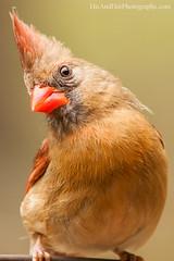 Female cardinal (HisPhotographs.com) Tags: portrait orange brown bird nature female backyard colorful pretty cardinal bokeh posing 500mm tamron birdportrait northerncardinal redbeak 200500mm