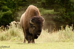 Home On The Range (flipkeat) Tags: up animal animals outdoors buffalo close quebec awesome north american huge bison montebello